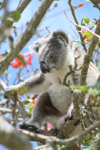 Coral Tree Koala Tea Gardens