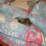 Tea Gardens Python in womens bed