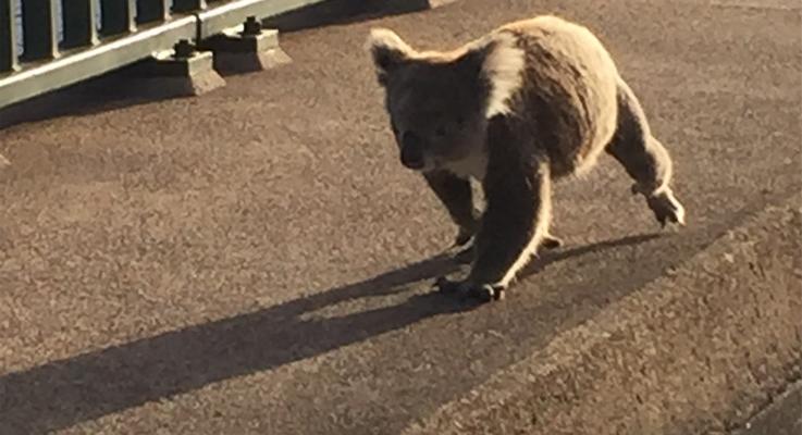 Koala on Tea Gardens Bridge