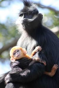 Baby Langur (49)