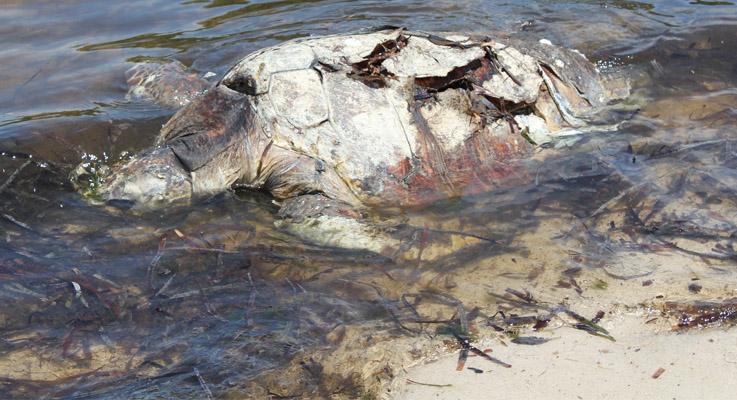 Sea Turtle at Pnidimar