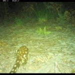 Rare Spotted-tailed Quoll spotted in Bulahdelah Plain Wetland Reserve