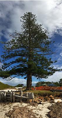 THE PINE TREE AT SOUTH PINDIMAR HAS LONG BEEN USED AS NAVIGATIONAL LANDMARK
