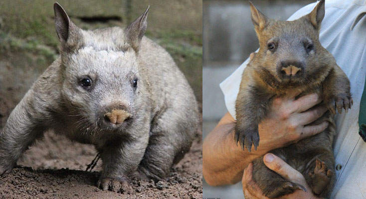 Taronga's new Southern Hairy-nosed Wombat joey, Kibbar.