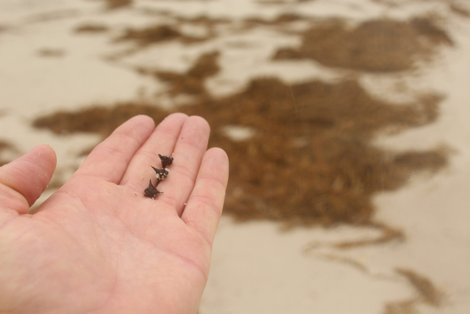 'Cats Head' prickles all over the beach.