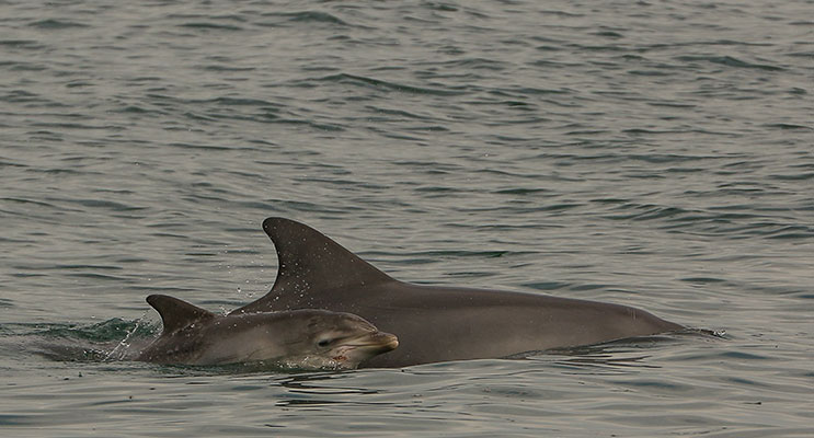 SIGHTING: A resident dolphin with her six-week old calf. Photo: Marine Parks Association.