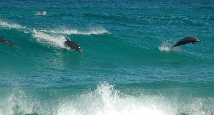 Local resident Christian Patteson captured this amazing image of dolphins riding Bennetts Beach waves.