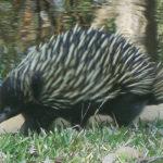 Myall Koala and Environment Group education on Echidna