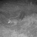 Meet a rare Tuncurry island hopper