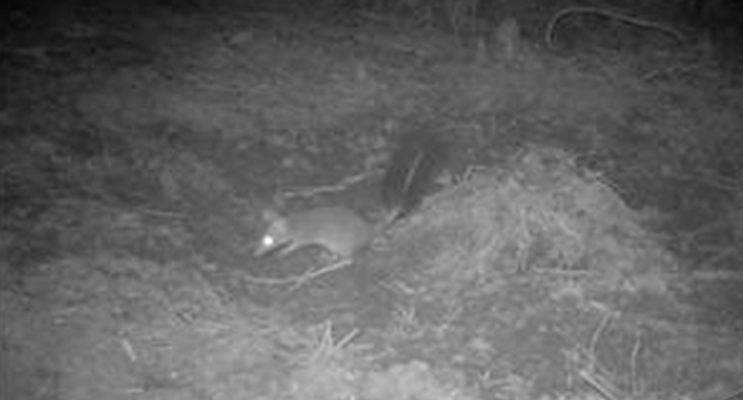 A still from the video footage taken by Council's motion detector cameras on Gereeba Island, of a brush-tailed phascogale.