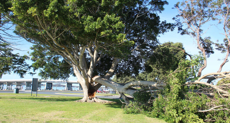 The scene on Monday morning at John Wright Park when a 45 year old fig tree lost one of its main limbs.