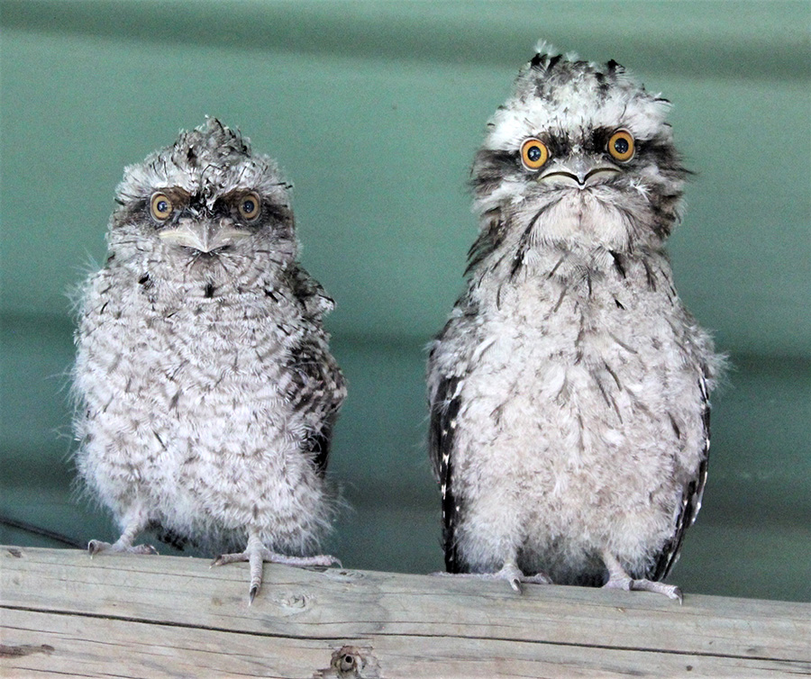 WILDLIFE: Baby Tawny Frogmouths in Teresa's care.