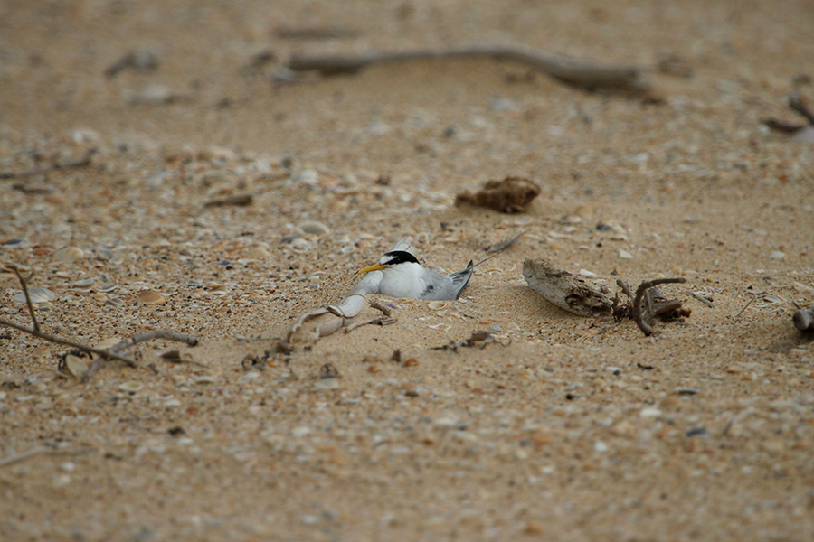 Little Terns are quite difficult to spot in their chosen nesting spots. Photo provided by Ann Lindsey, Hunter Birds Observers Club