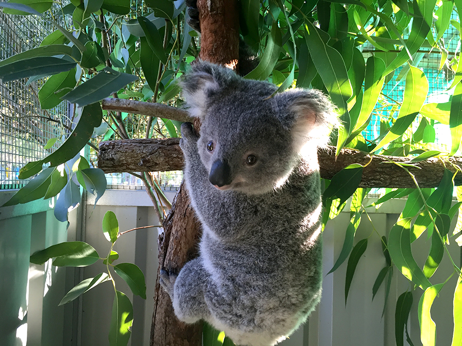 """""""Woodville Sammi"""" was given a second chance thanks to Port Stephens Koalas."""