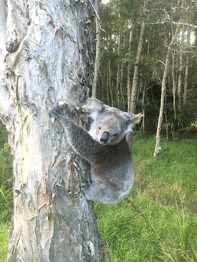 PRINCESS: Koala stops traffic in Hawks Nest.