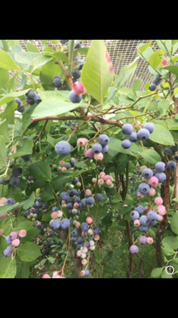 Blueberry Trees laden with juicy Organic Blueberries.