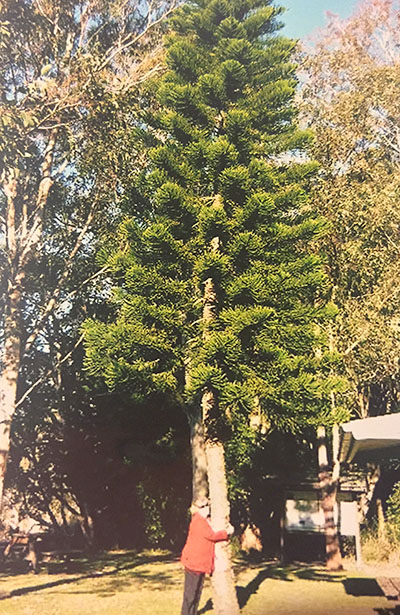 The Pine Tree at Nerong that stands as a living memorial to Cliff Dominey (Beryl Dominey, sister now 87, embraces the huge pine).
