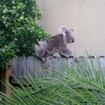 Koala Action in the Myall Region