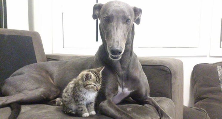 Buddy the greyhound with his feline sibling.