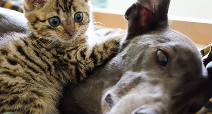 Introducing a kitten to the gentleness of the greyhound.