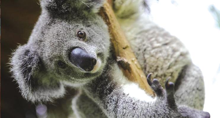 Port Stephens has one of the last remaining koala populations on the east coast of Australia.