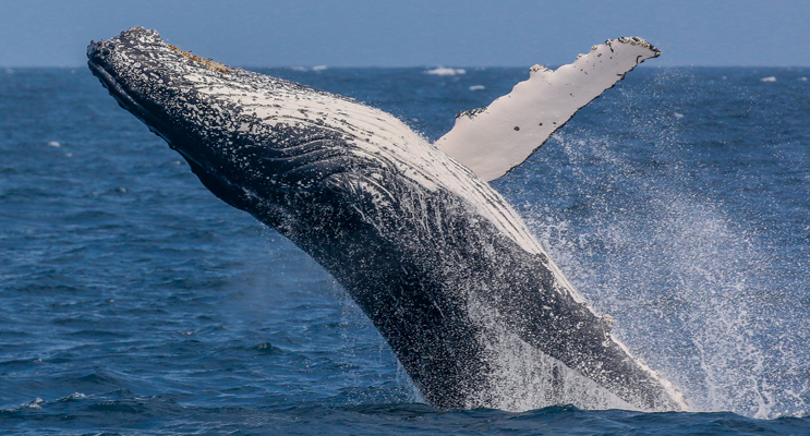 A Humpback Whale  breaches in our beautiful Marine Park.  Photo courtesy Lisa Skelton of Imagine Cruises