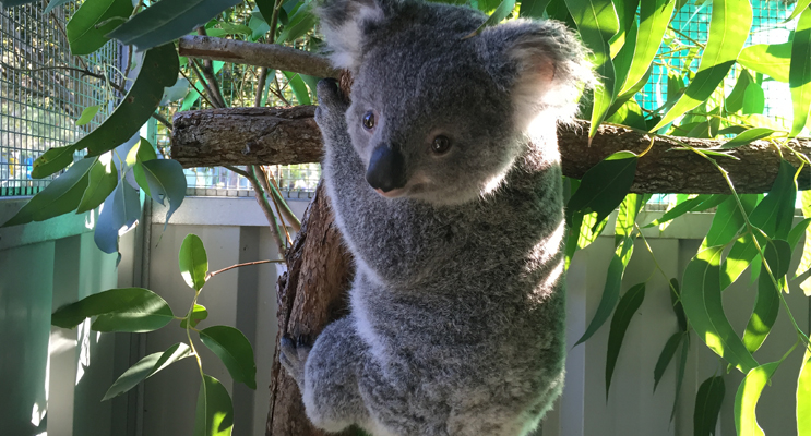 Corridors for koalas are being created across Salamander Bay.