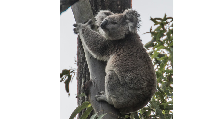 The elusive koala at Tahlee.