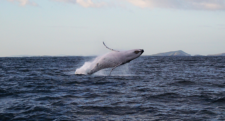 Breaching whale. Image by Meagan Canton (Meagan Canton image was also used on the front cover Bay NOTA 13 July)