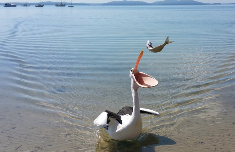 A very happy pelican at Tanilba Bay.
