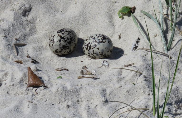 WINDA WOPPA DISCOVERY: Pied Oystercatcher Eggs.