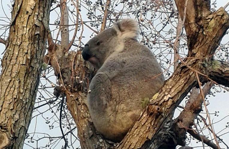 Koala retires to the Grange.