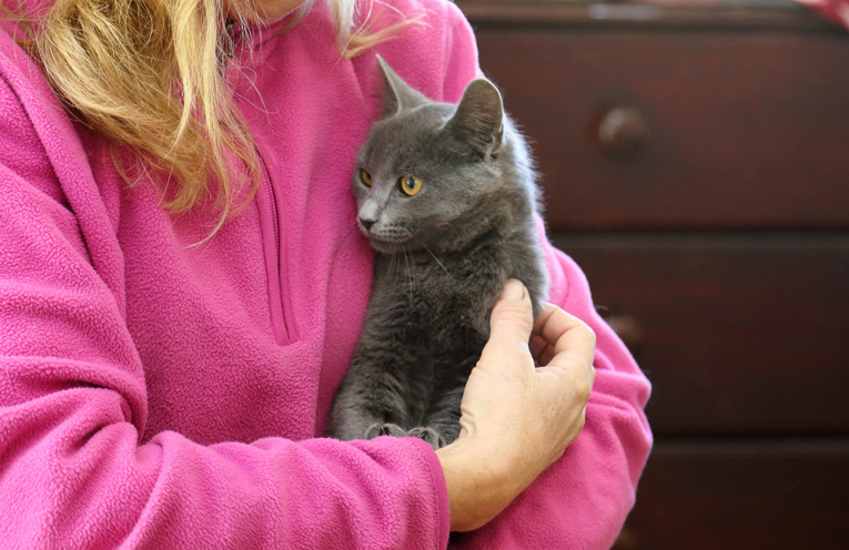 A Russian Blue kitten saved by Cat Rescue Port Stephens recently, the same breed a Medowie man was arrested for hurting.