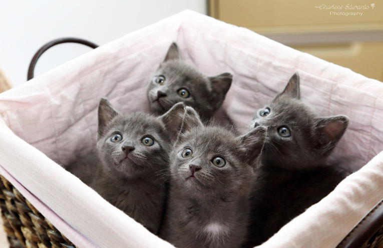 A recently saved group of Russian Blue kittens from Cat Rescue Port Stephens, the same breed of kitten injured by Adam Urquhart. Photos supplied by Charlene Edwards photographer.