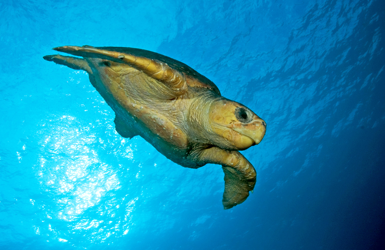 A Loggerhead Turtle. Photo by David Harasti, Research Scientist with NSW Department of Primary Industries