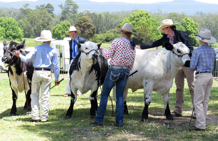 Cattle judging at the 2016 Bulahdelah Show.