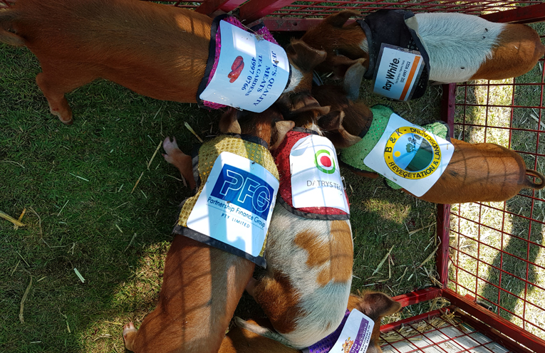 TEA GARDENS COUNTRY CLUB: Pigs dig in ahead of their races.