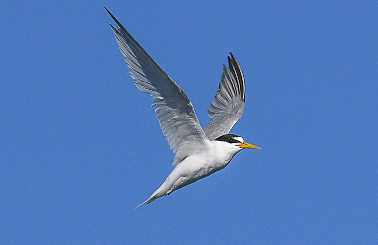 Little tern volunteer