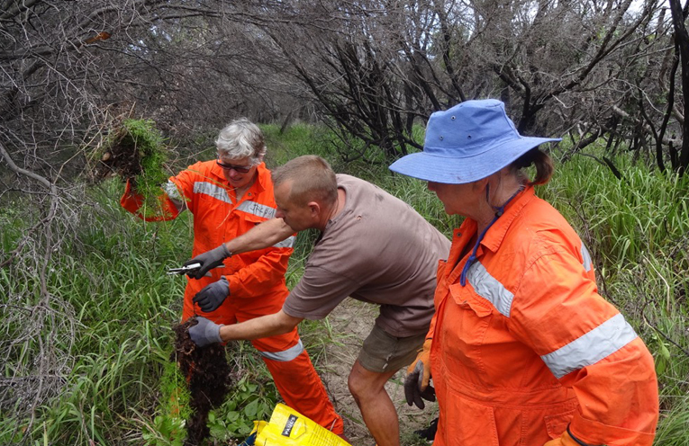 Bitou Buster volunteers Jacqui Bright, Christian Patteson and Jill Madden (Coordinator), up to their waists in weeds in Hawks Nest.