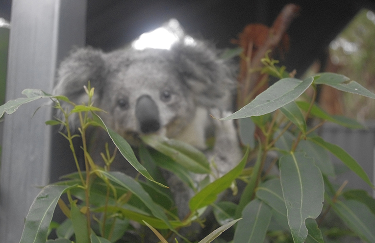2.Maree a young blind female koala in one of the care pens at the Port Stephens Koala Hospital. Photo by Marian Sampson.