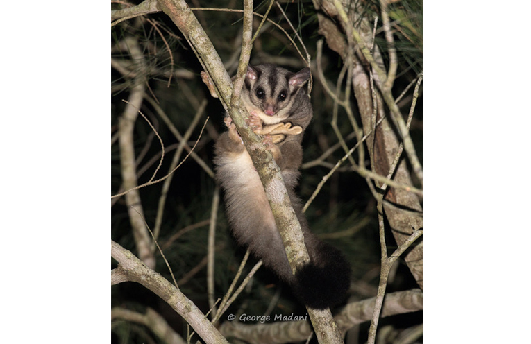 NEW SURVEY SUBJECTS: Squirrel Glider.
