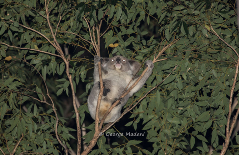 NEW KOALA SURVEY: Yagon Koala.