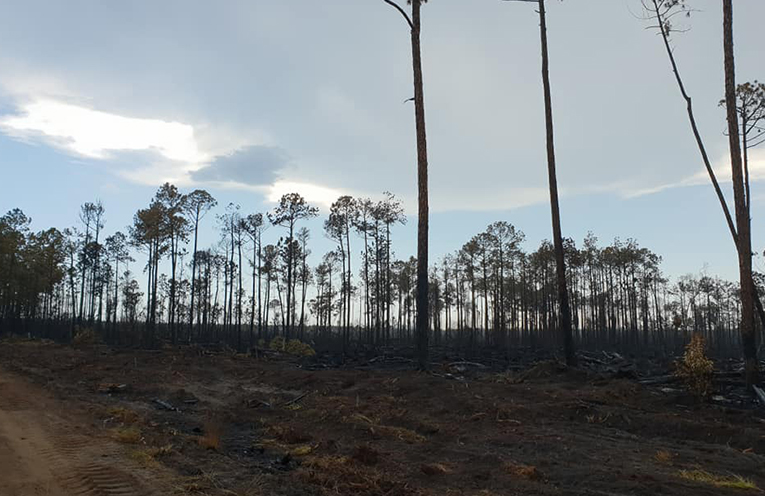 FIRE AFTERMATH: Tea Gardens Pine Plantation.