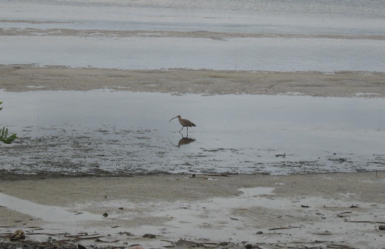 A lone migrant wader looking for food at Tanilba Bay.