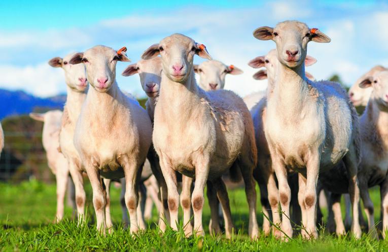 Some of Yeo farms stunning pasture raised Australian White Sheep.